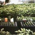Aeroponics cultivation system