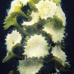 Turbinaria conoides